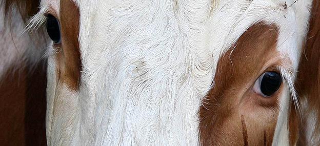 Kuh - Ein Licht der Hoffnung für Lebenshöfe, Gnadenhöfe, Tierschutzvereine und Tiere in Not