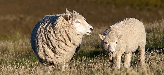 Schafe Ein Licht der Hoffnung
