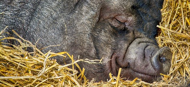 Schlafendes Schwein