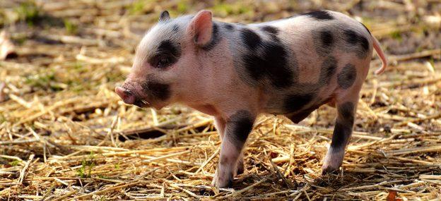 Header Schweinchen