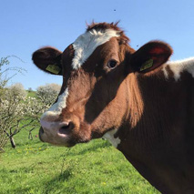 Gerette Kuh Weil Tiere lieber leben